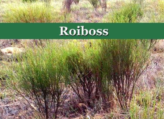 Rooibos wächst nur in den Zederbergen im...