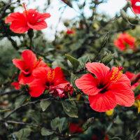 Hibiskusblüten - Hibisci Flor. tot.