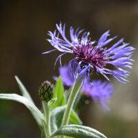 Kornblumenblüten - Cyani Flor. blau tot.
