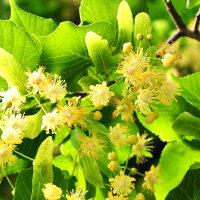Lindenblüten, Silberlinde